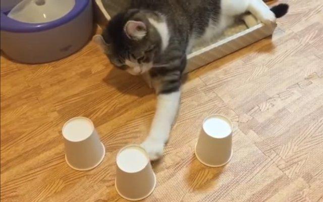 Наперсточники напряглись: в Сети стало популярным видео с котом, который отгадывает где шарик