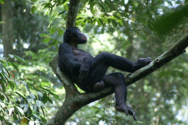Ученые сообщили, какой примат больше всего подходит на роль прародителя человека