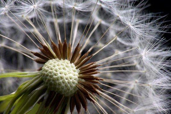 Ученые: Семена одуванчика являются идеальной пипеткой