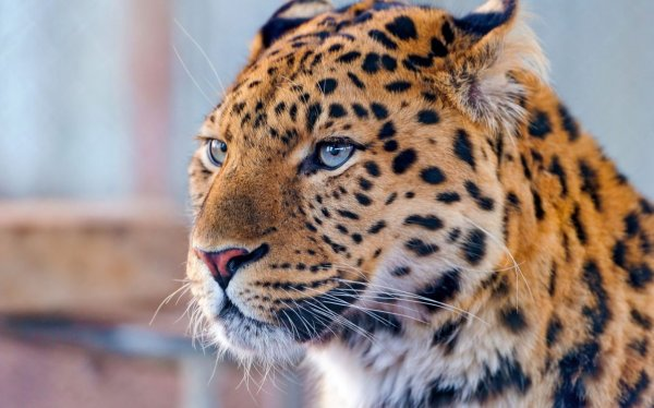 Исследователи расселят дальневосточных леопардов в южном Приморье