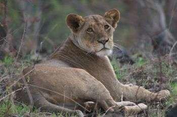 Африканские львы находятся под угрозой вымирания