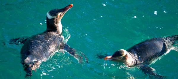 Ученые: Новозеландские желтоглазые пингвины могут вымереть к 2060 году