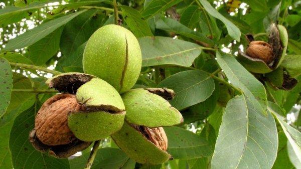 Грецкие орехи избавят от слепоты — Ученые