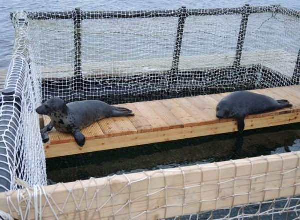 Ученые Мурманска рассказали, как делают из тюленей спасателей и разведчиков