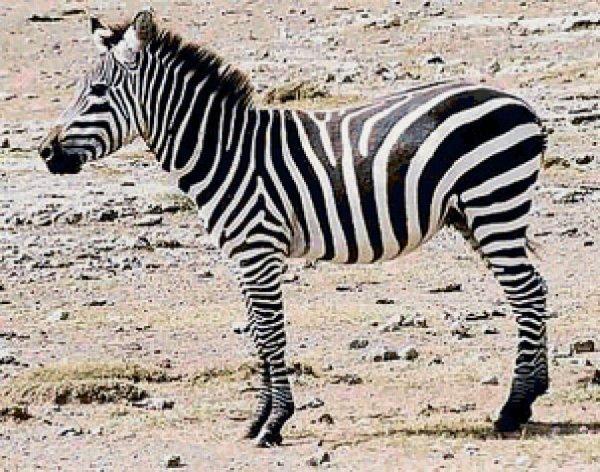 Британские ученые выяснили, почему зебры имеют полосатый окрас