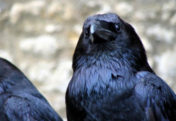 Ученые рассказали о злопамятности ворон