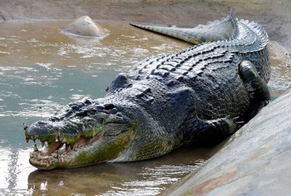 В Китае разгадали загадку древнего крокодила-людоеда
