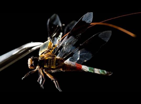 Ученые сделали из стрекозы дрон на пульте управления