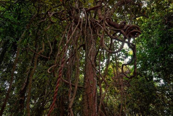 Ученые рассказали, как лианы лишают еды животных в тропиках