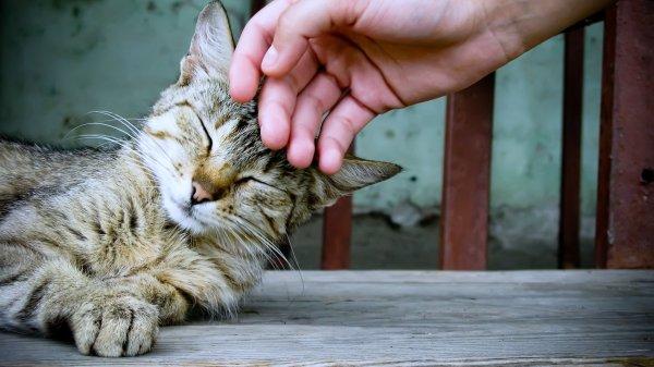 Ученые рассказали, почему кошкам нравится поглаживание по голове