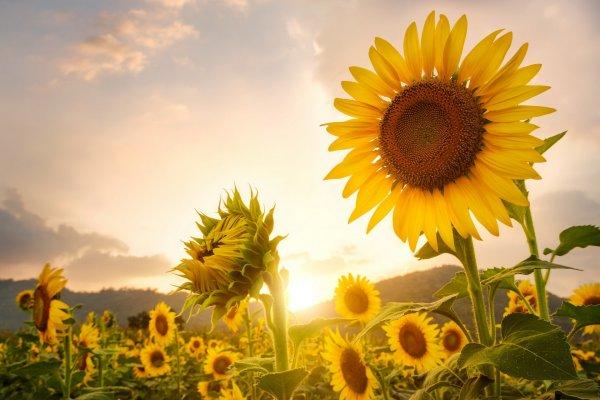 Семена подсолнуха наносят вред человеку — Ученые