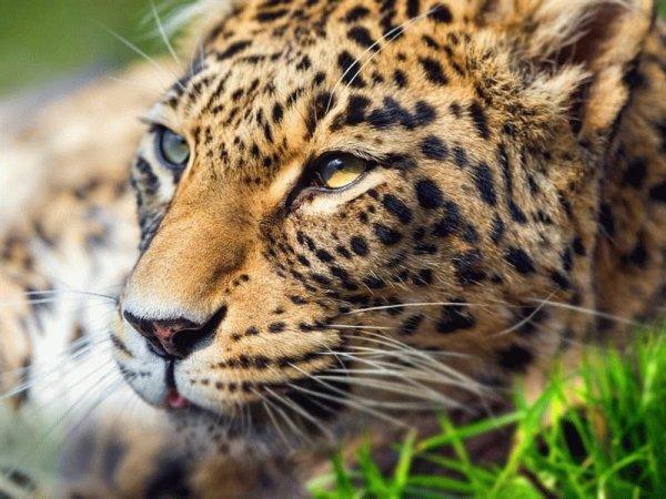 Камеры наблюдения ГЭС в Северной Осетии запечатлели считавшегося исчезнувшим леопарда