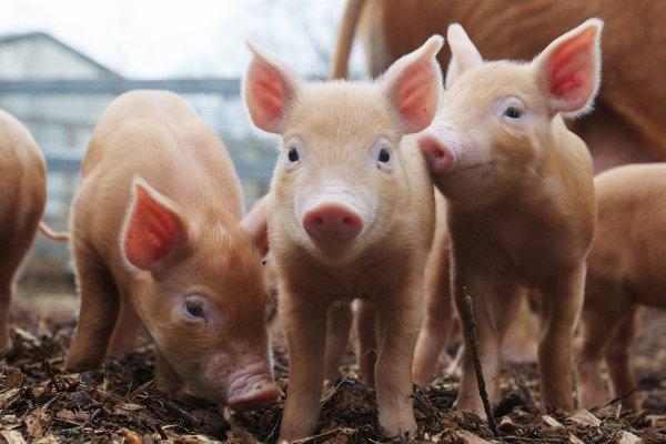 Ученые: Искусственный интеллект успешно клонировал свиней