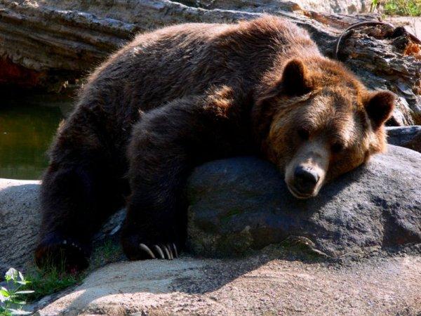 Ученые выяснили, как мигрировали медведи, обитающие на территории Сибири
