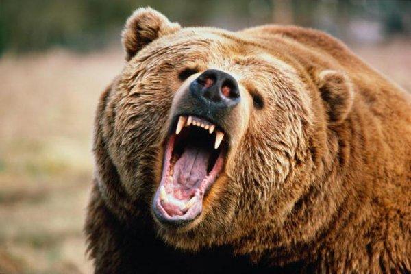 Исследователи рассказали об эволюции сибирских медведей