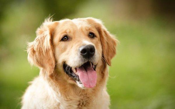 Ученые: Дружелюбные собаки имеют особенную генетику