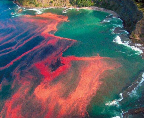 Ученые: «Кровавые приливы» возникают из-за водорослей