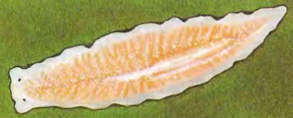 Ученые: После ампутации головы плоские черви «видят» ультрафиолет