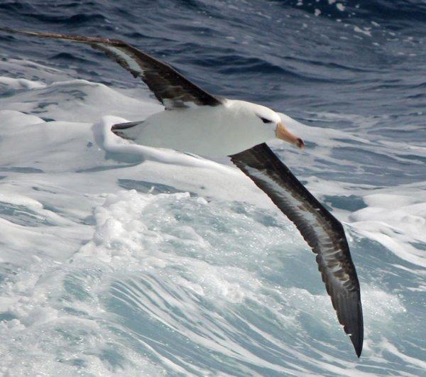 Ученые нашли на Земле Франца-Иосифа редкого альбатроса
