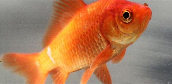 Учёные: Золотая рыбка и карась могут вырабатывать алкоголь
