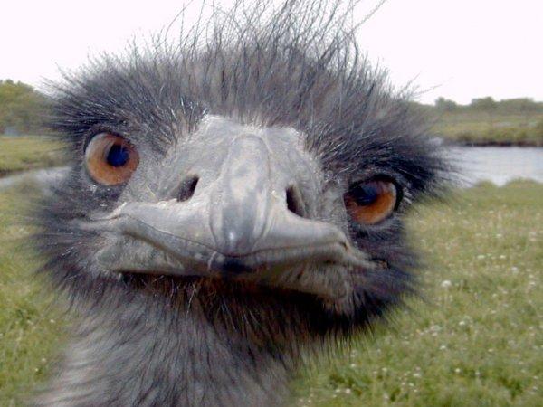 Учёные объяснили, зачем страусу четыре колена