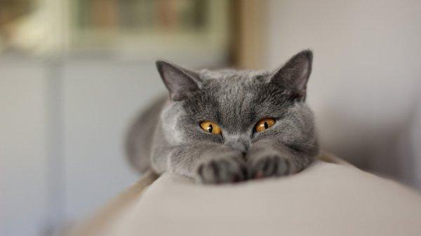 Ученые: Кошачий паразит может вызвать у человека рак мозга