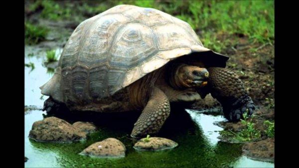 Ученые возродят популяцию вымерших галапагосских черепах