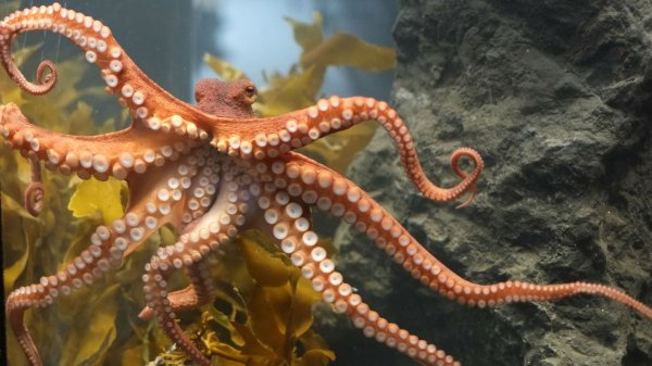 Возле побережья Австралии учеными найден «город» осьминогов