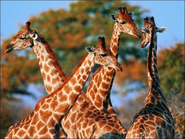 Ученые выяснили, почему у жирафов длинные шеи