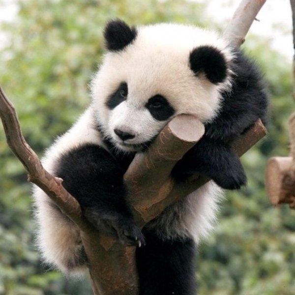 Панды до сих пор находятся под угрозой вымирания, считают экологи