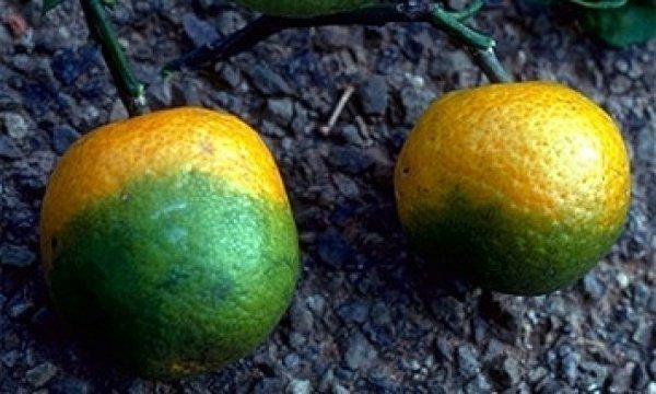 Ученые во Флориде озадачены проблемой озеленения цитрусовых
