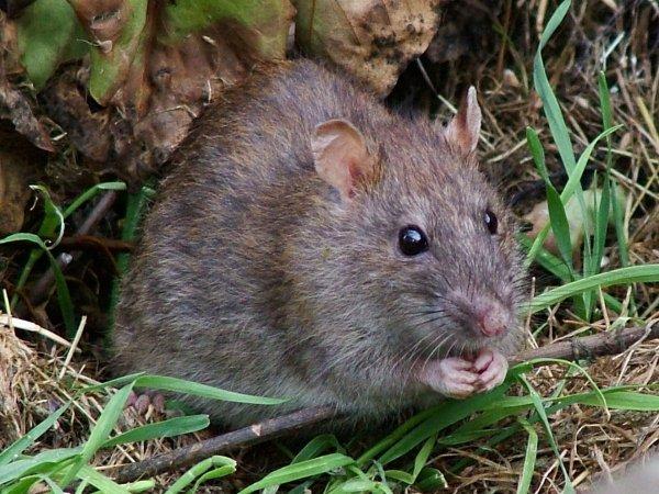 Ученые нашли на Соломоновых островах мифическую гигантскую крысу