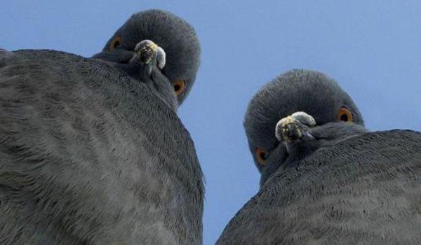 Ученые: Голуби способны думать быстрее людей