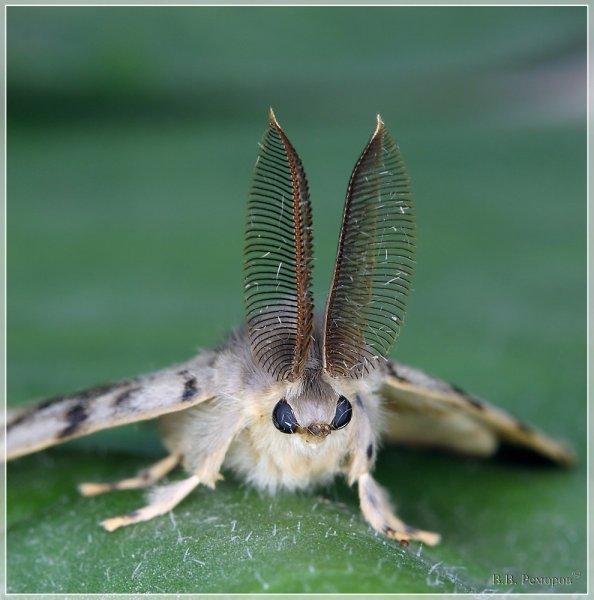Новый вид бабочки будет назван в честь петербургского зоолога