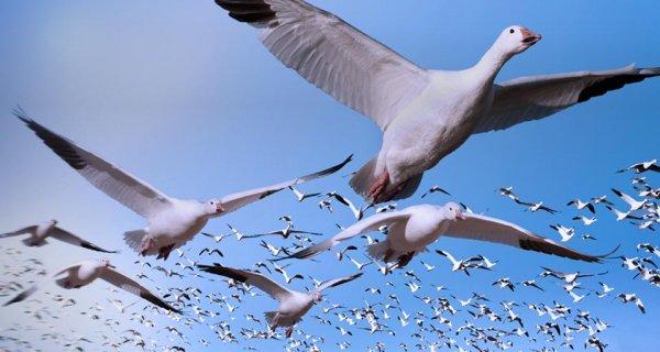 Ученые подвергли сомнению предположение о существовании биокомпаса в глазах птиц