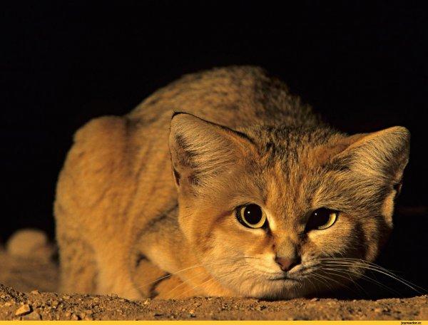 В Сахаре впервые смогли заснять на видео барханных котят