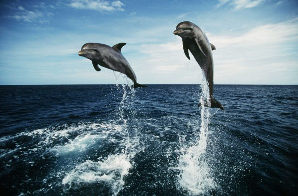 Пенисы умерших дельфинов ученые надувают для исследования секса