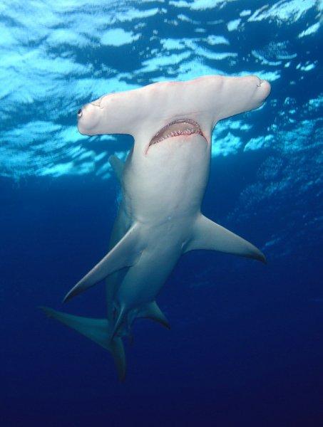 Рыбе-молоту помогли набрать скорость колебания головы