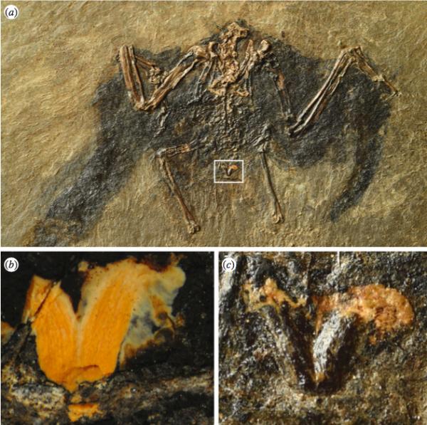У древней птицы из палеогена нашли сохранившуюся копчиковую железу