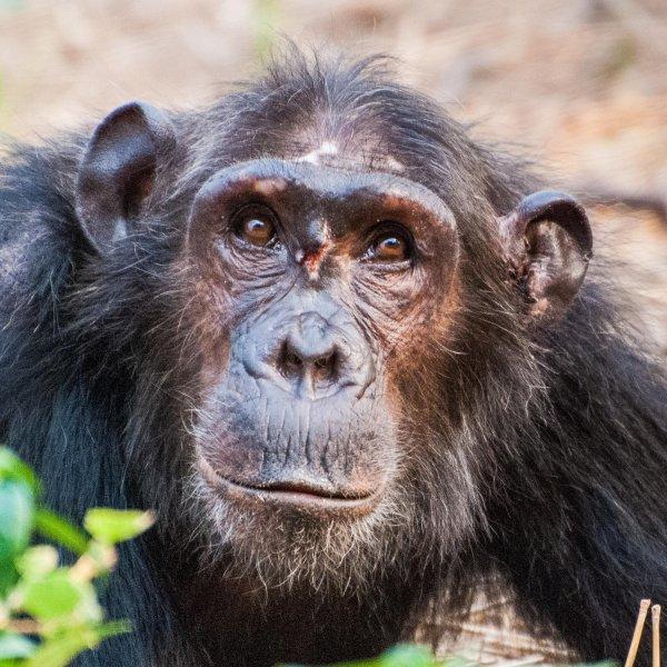 Ученые подтвердили стабильную личность у шимпанзе
