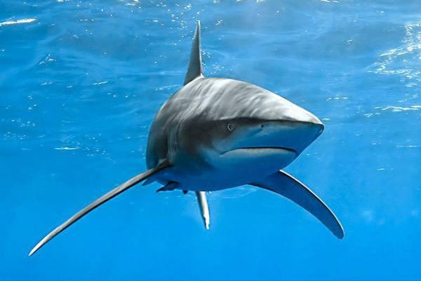 Ученые: У берегов Калифорнии нашли акул со съеденным мозгом