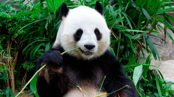 Ученые убеждены, что панды зародились в Европе