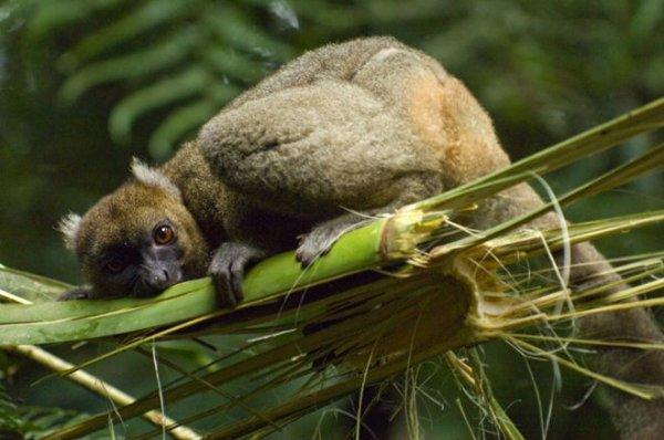 Глобальное потепление грозит вымиранием широконосых лемуров