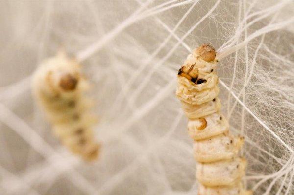 Нити шелкопрядов способны исцелить болезни спинного мозга