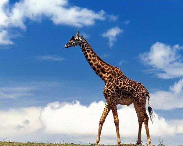 Палеонтологи установили внешний вид предков жирафов, живших 11 млн лет назад