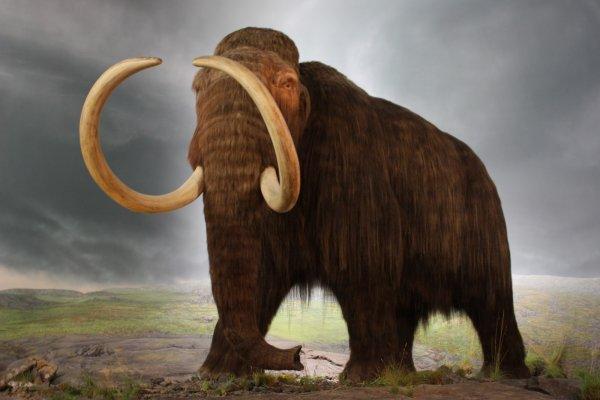 Ученые: Самцы мамонтов относились к породе «социофобов», которая привела к их вымиранию
