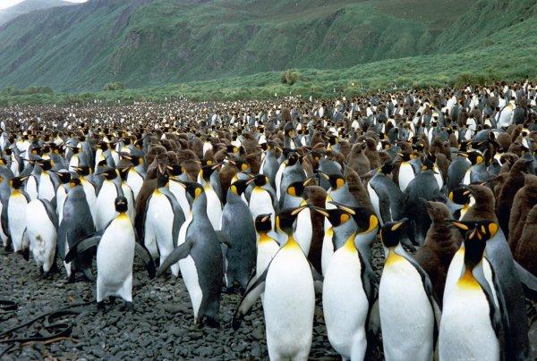 Ученые: У малых пингвинов есть «территориальный диалект»