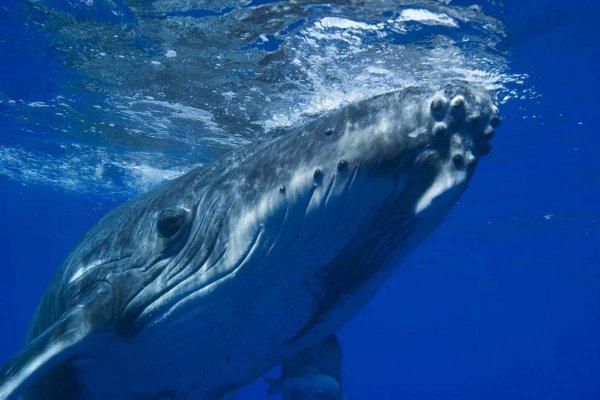 Учёные поведали о новом способе усатых китов добывать пищу