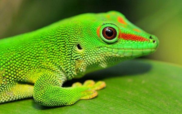 Специалисты научат людей регенерации, как у гекконов