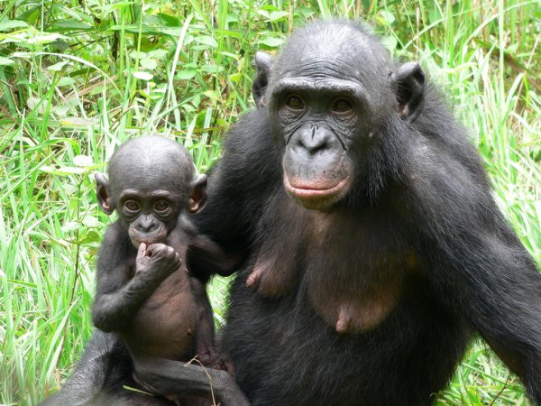 Ученые: Шимпанзе бонобо без корысти помогают незнакомцам